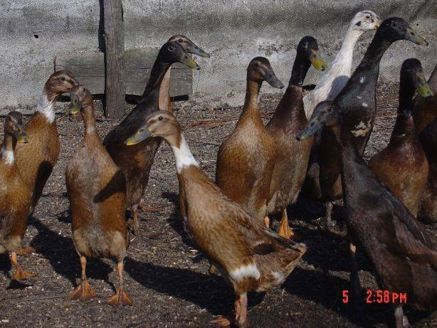 Утка индийский бегунок: описание породы, разведение