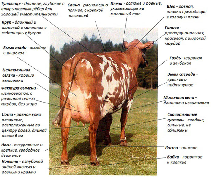 Корова – описание, породы, размножение, кормление