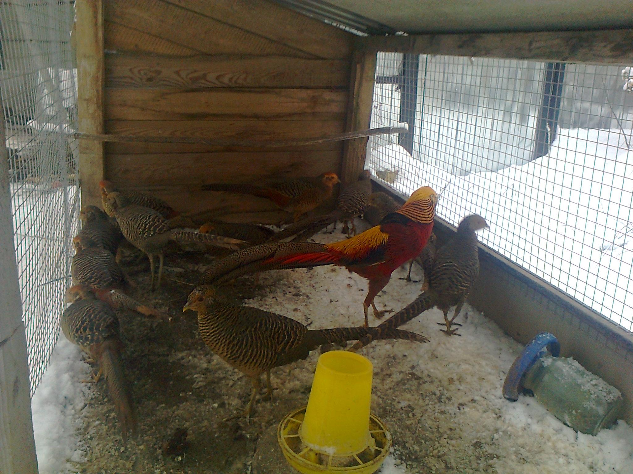 Разведение фазанов — просто, прибыльно, интересно. виды, содержание, питание. фото — ботаничка.ru