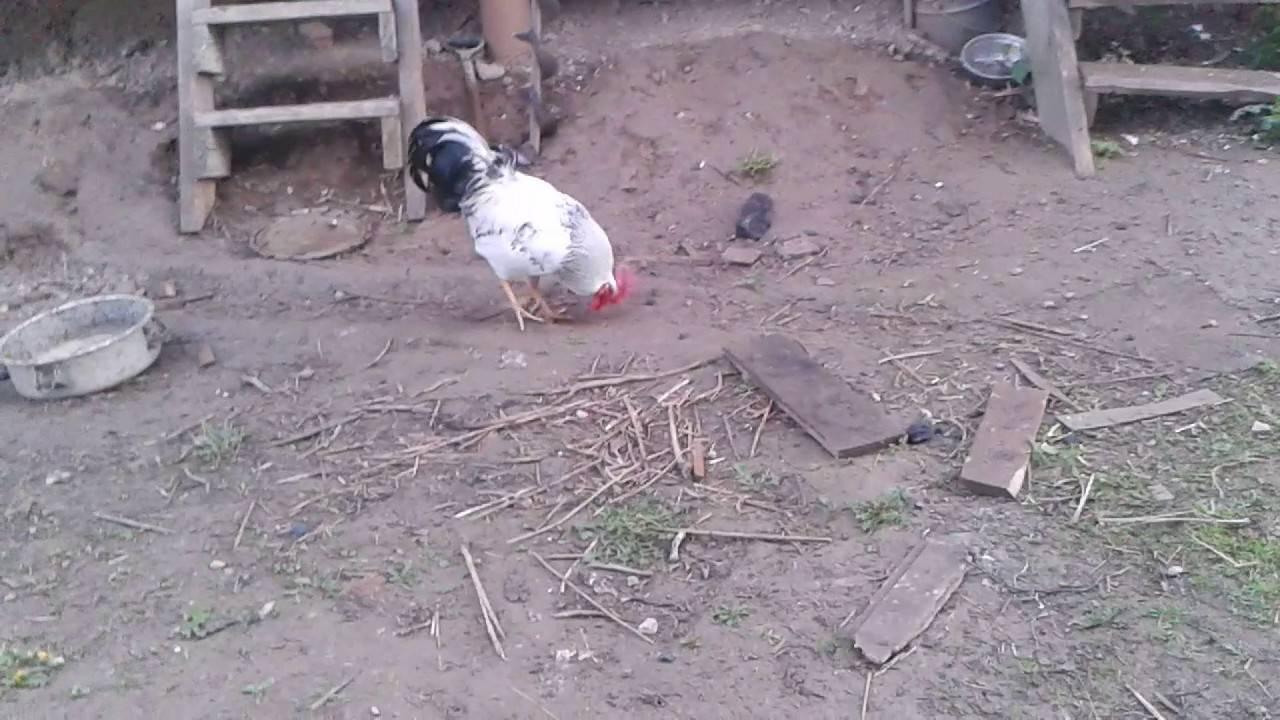 Почему злой петух клюётся, как отучить птицу кидаться на людей и на кур