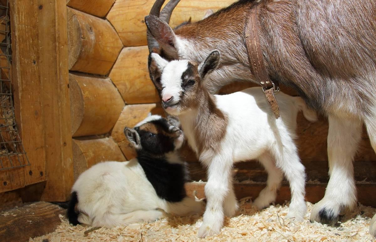 Как разводить коз в домашних условиях: правила и нюансы содержания коз, дойка и окот, советы начинающим