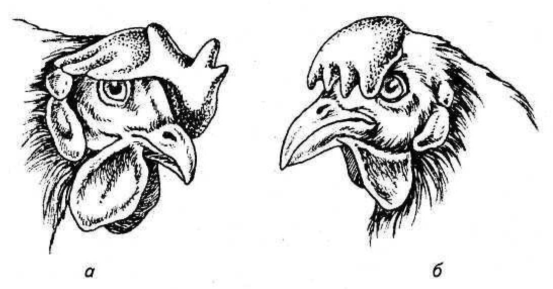 Как узнать возраст курицы
