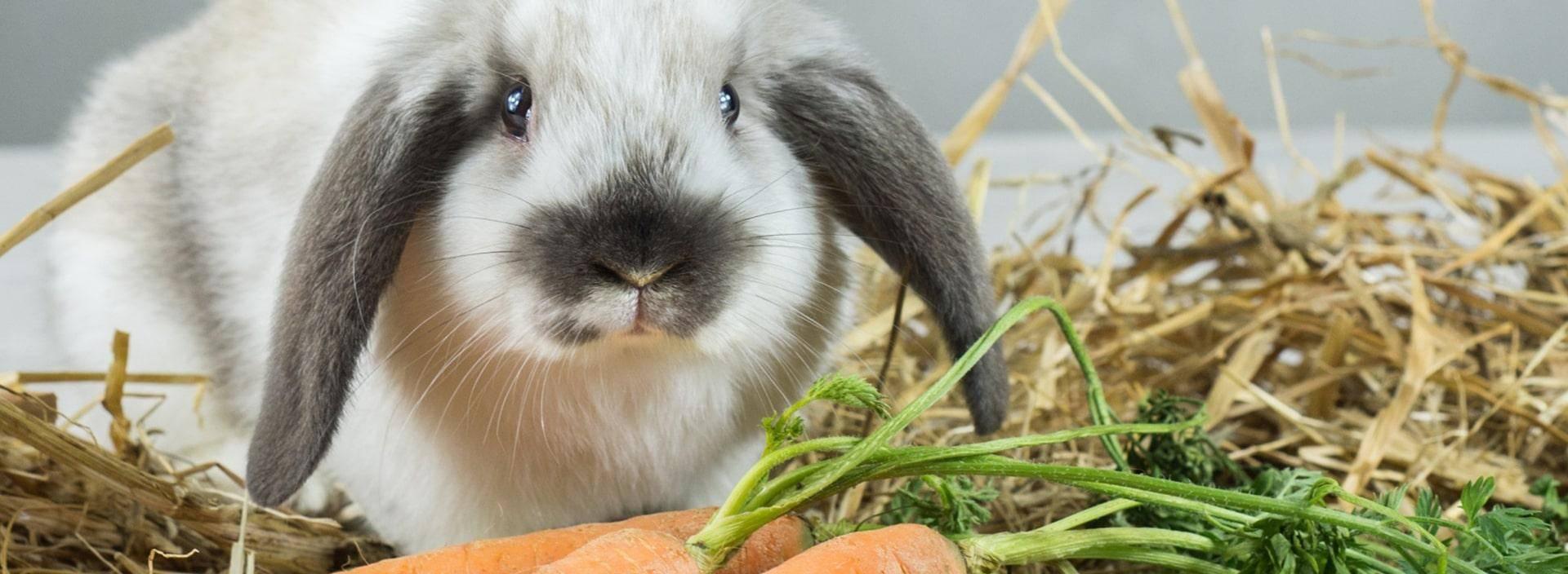 Лебеда в качестве корма для кроликов: польза и вред, полезные советы