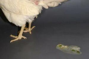 Как и чем лечить понос у кур: причины, советы и рекомендации птицеводов