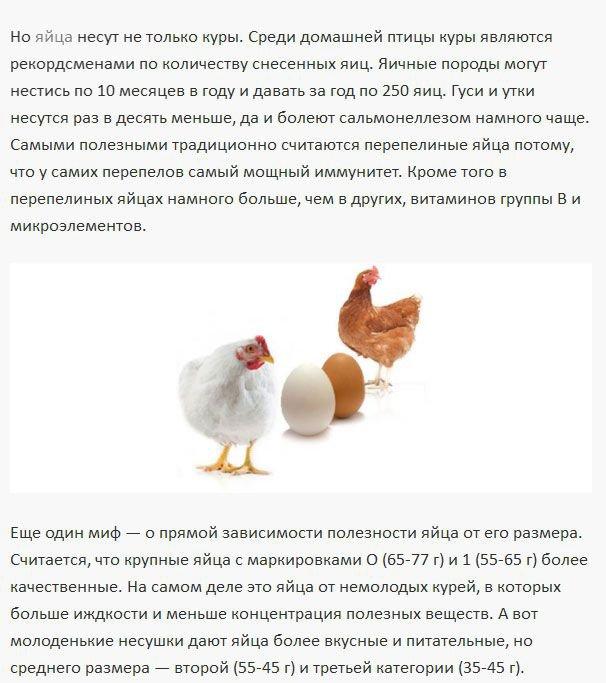 Сколько лет живет курица-несушка, выращивание кур в домашних условиях и на птицефабриках