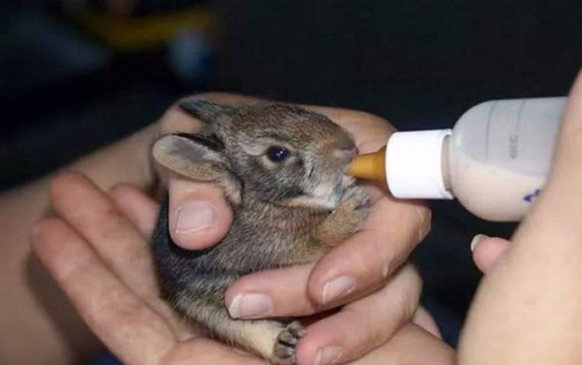 Новорожденные кролики: как ухаживать, искусственное вскармливание крольчат, развитие и отсадка из гнезда