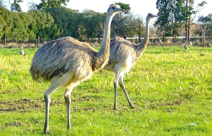 Страус нанду. образ жизни и среда обитания страуса нанду   животный мир