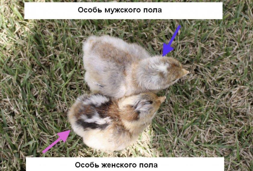 Билефельдер порода кур – описание, содержание, фото и видео