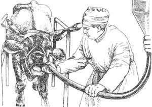 Почему корова не жует жвачку что делать народные средства