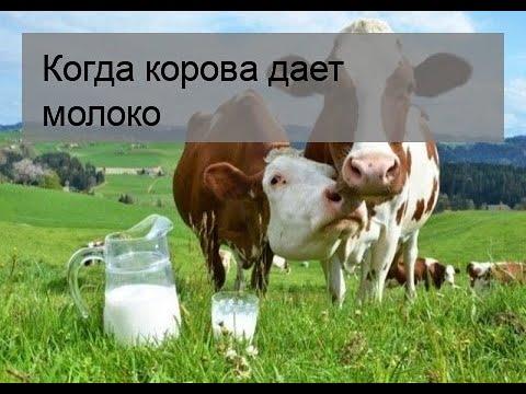 Почему корова дает мало молока: что делать и как увеличить удои
