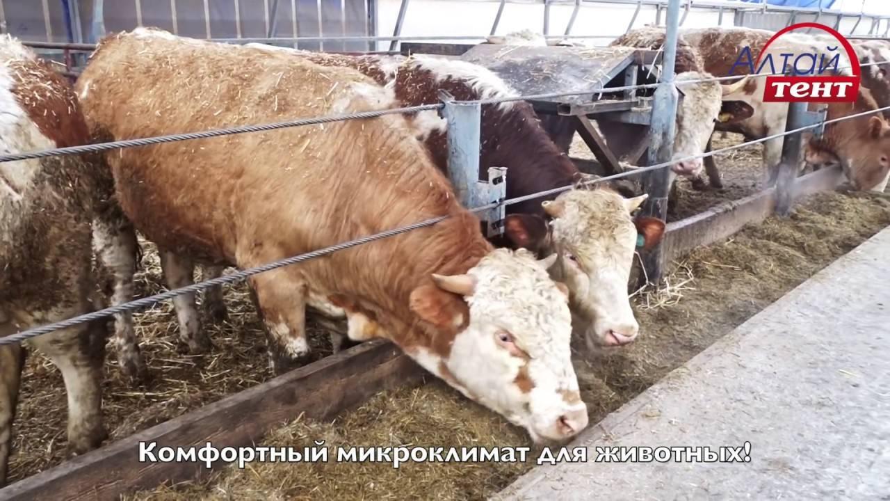 Коровник на 500 голов крс - как построить правильно