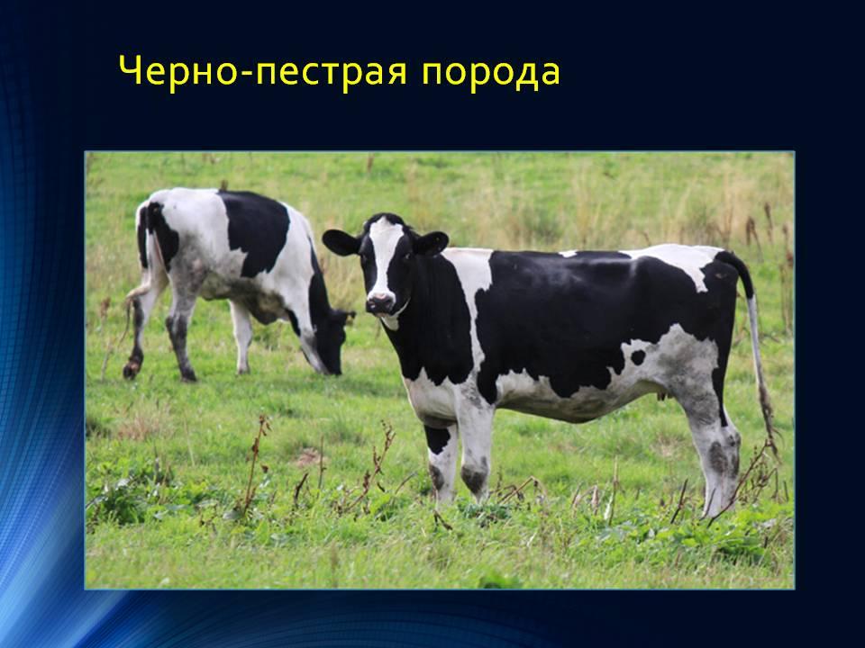 Черно-пестрая порода коров: [описание породы, фото, уход, преимущества и недостатки]