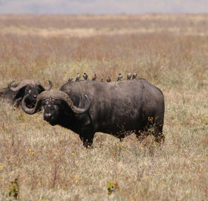 Африканский буйвол - african buffalo - qwe.wiki