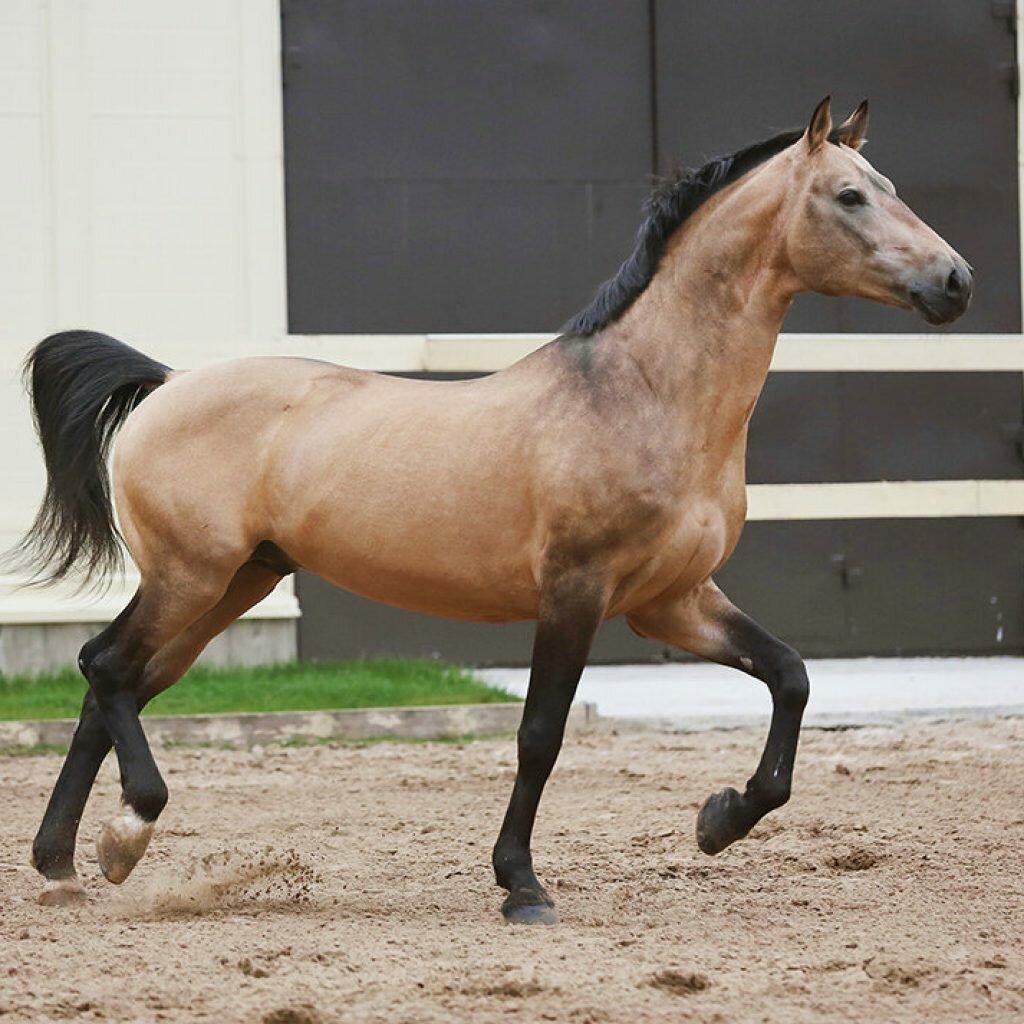 Пегий цвет в окрасе лошадей: виды коней по типу пятнистости, история возникновения мастей