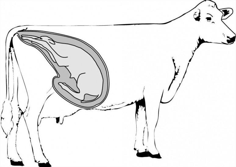 Как долго корова вынашивает телёнка, особенности процесса беременности и родов