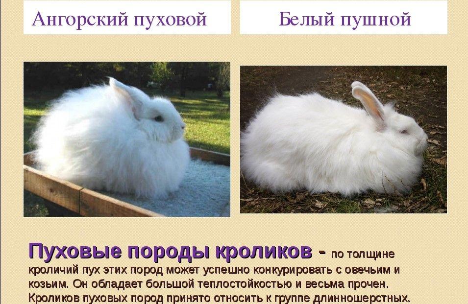 Обзор кроликов породы серебро