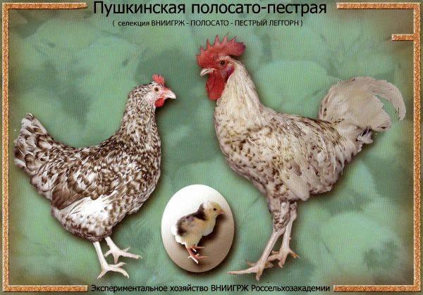 ✅ о курах ливенские: характеристики породы, разведение, содержание поголовья - tehnomir32.ru