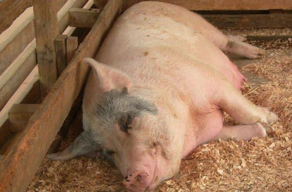 Сколько ходит свинья