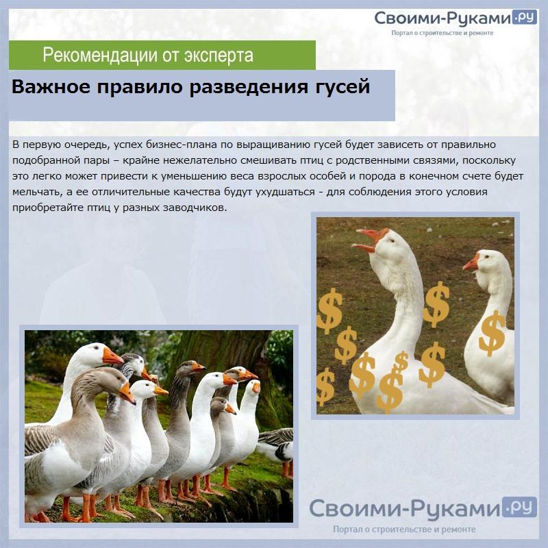 Разведение гусей: уход и содержание в домашних условиях