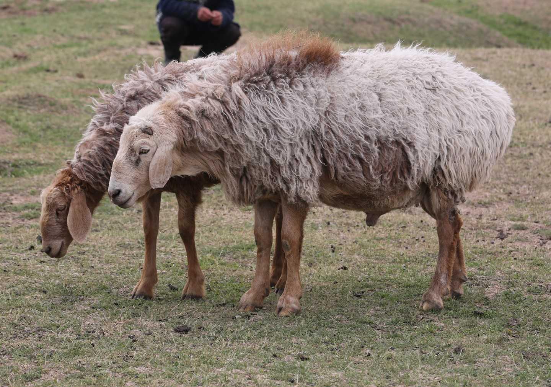Эдильбаевские овцы — одни из лучших для разведения в домашнем хозяйстве