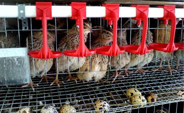 Когда начинают нестись перепела, сколько яиц в день, с какого возраста, когда перестают