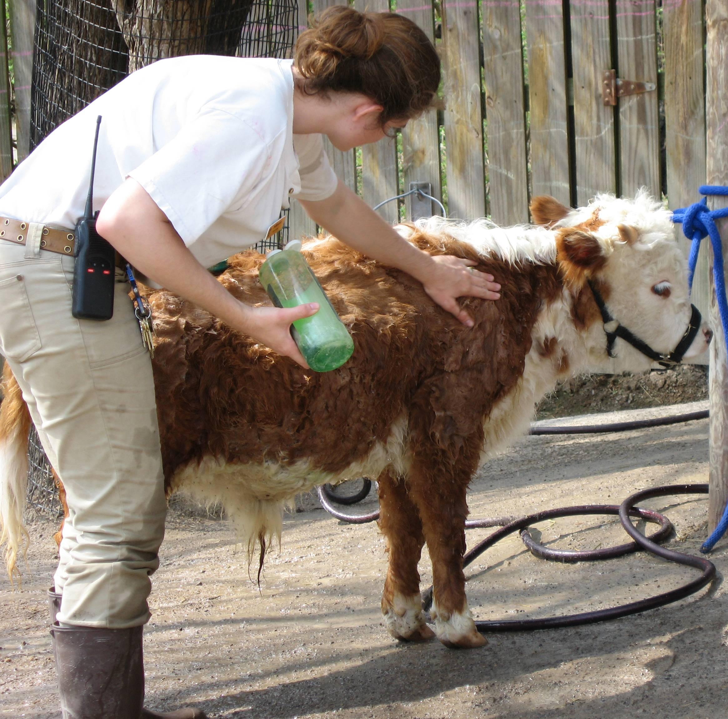 ᐉ мини-коровы: обзор пород, их происхождение и характеристики - zooon.ru