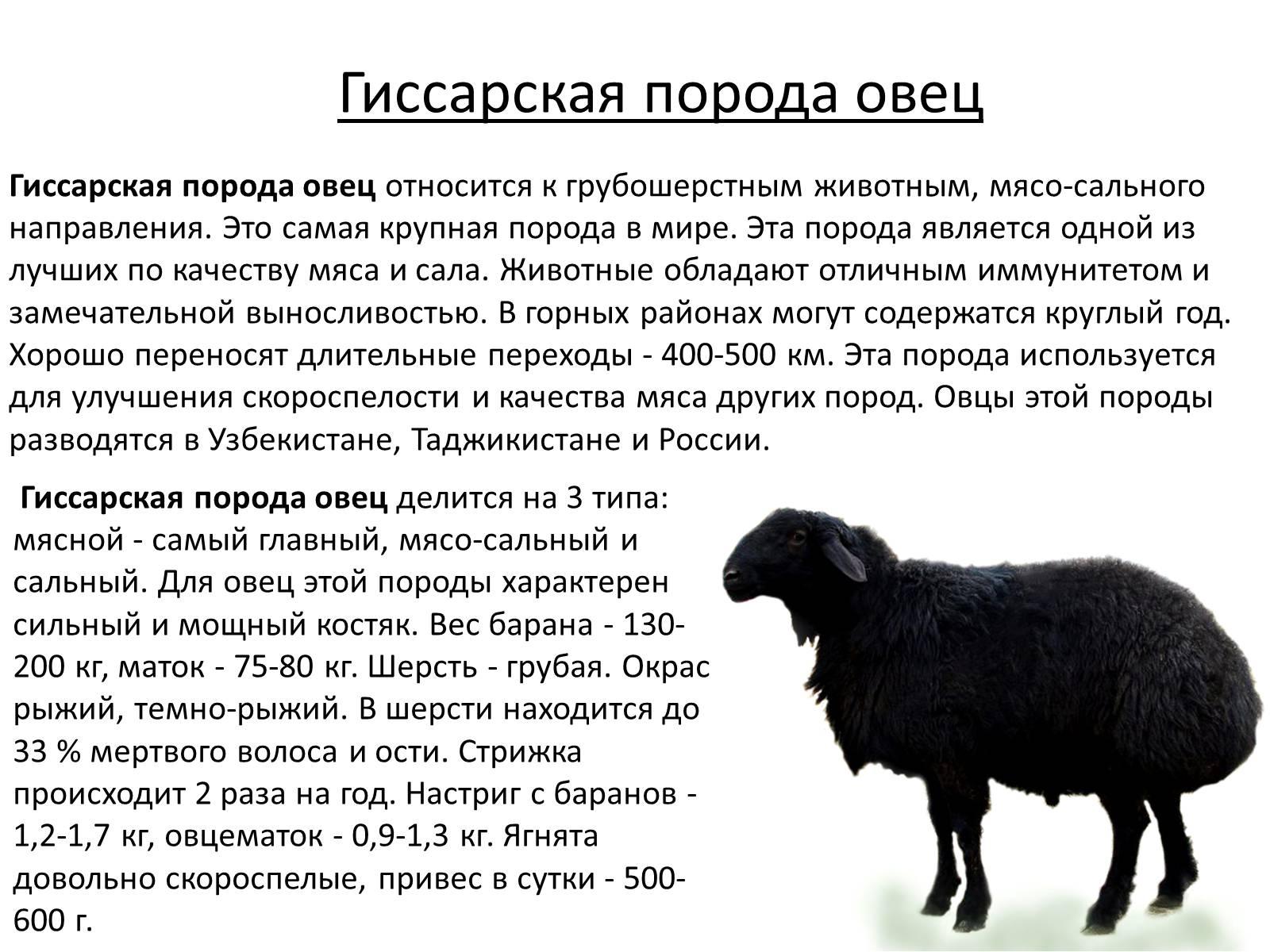 Курдючный баран и овца: описание и разведение