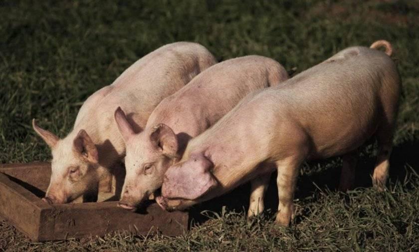 Обзор свиней ландрас: описание породы, содержание, разведение и фото