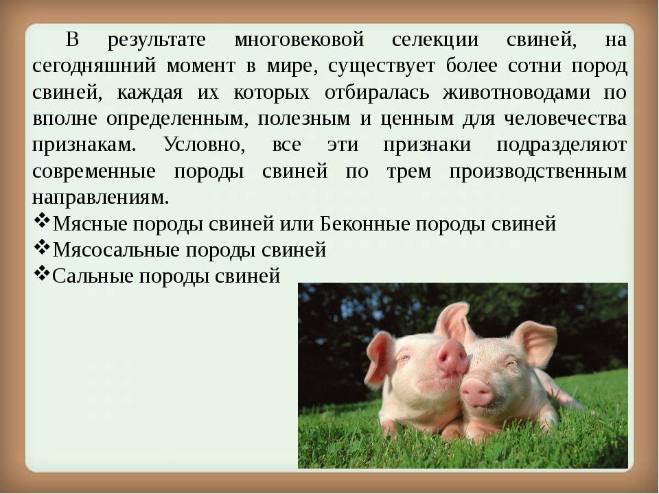 Нормальная температура у свиней: способы измерения