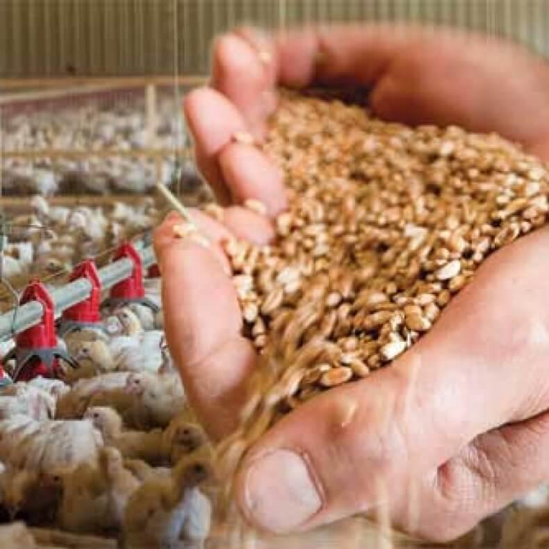 Как правильно прорастить пшеницу в домашних условиях: для еды