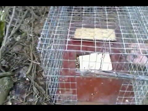Как поймать фазана: несколько основных способов ловли.