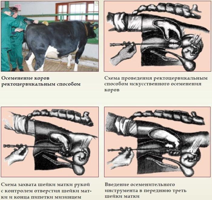 Осеменение коров и период беременности: определение охоты и сроков беременности