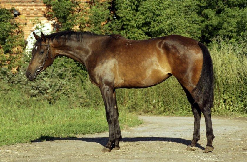 Орловский рысак — породы лошадей