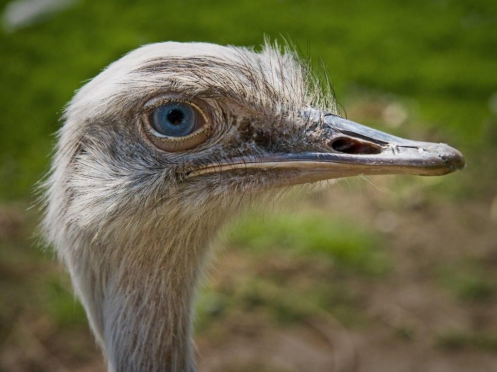 Знакомимся поближе с американским другом — страусом нанду