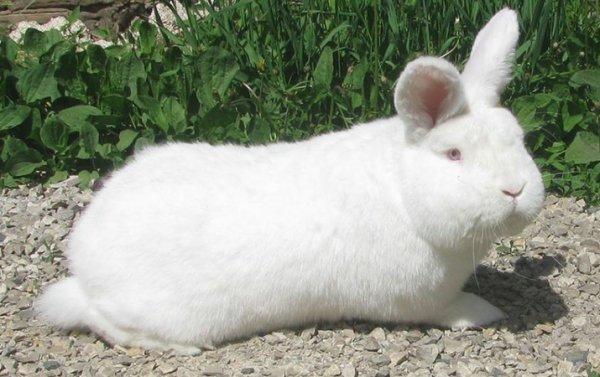 Новозеландский кролик, красные и белые подвиды, особенности в содержании и уходе