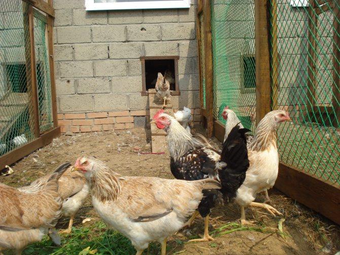 Скрещивание кур разных пород в домашних условиях - дневник садовода amparagroup.ru