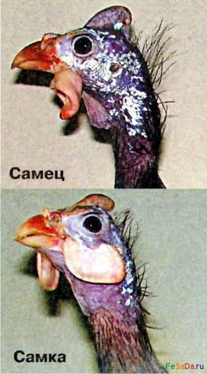 Разведение цесарок - содержание цесарок - птицеводство - собственник