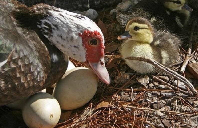 Как высиживают яйца утки в домашних условиях и сколько дней