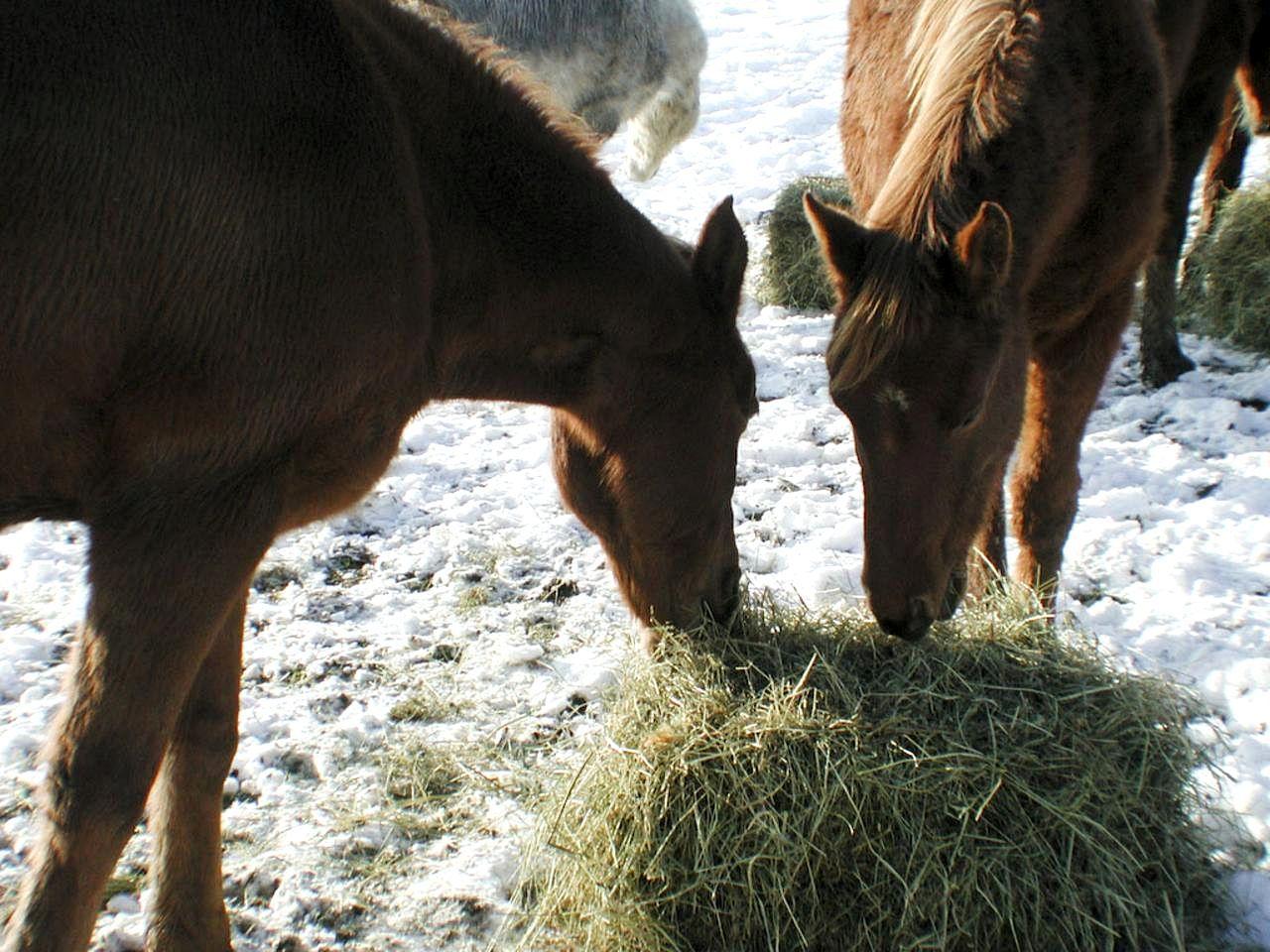 Чем кормить лошадей: рассматриваем основы рациона