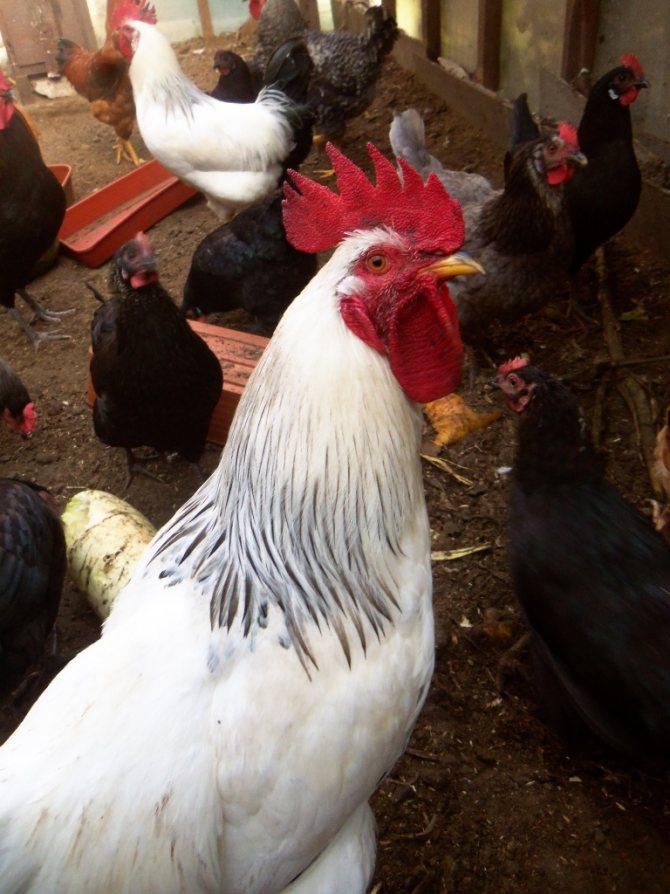 Адлерская серебристая порода кур. описание, отзывы, обзор с фото и видео