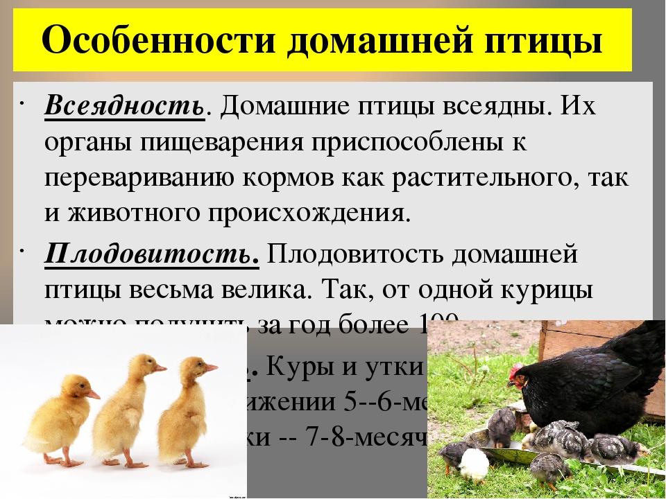 Описание и главные характеристики башкирской утки