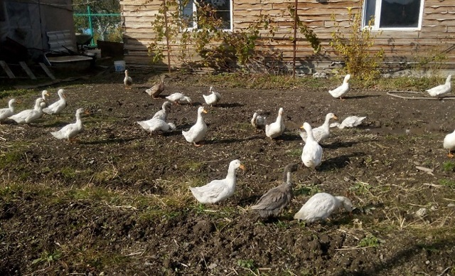 Башкирская утка: описание породы и советы по выращиванию