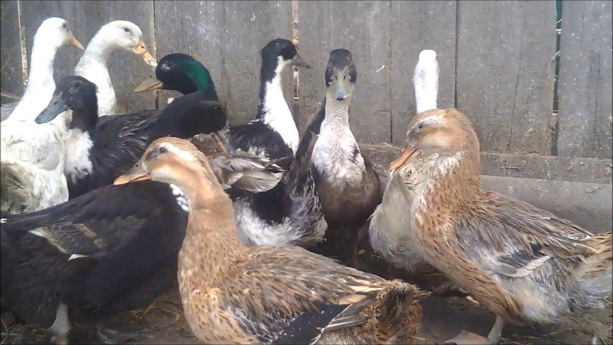 Отличия утки и селезня. особенности содержания птиц