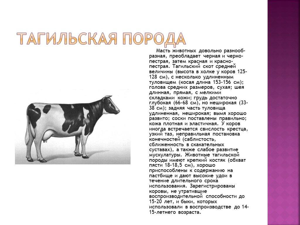 Ярославская порода коров: история появления, характеристики