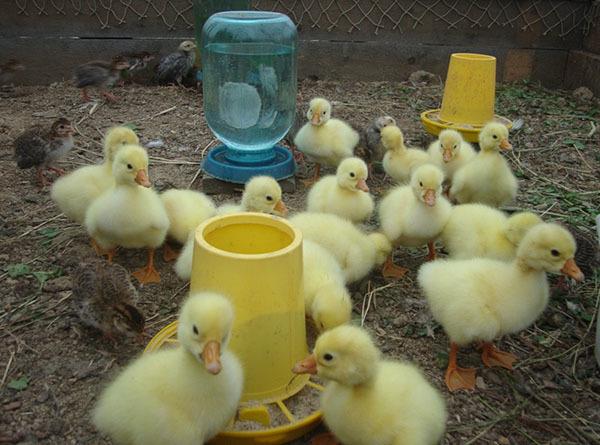 Выращивание гусей в домашних условиях для начинающих - подробные советы!