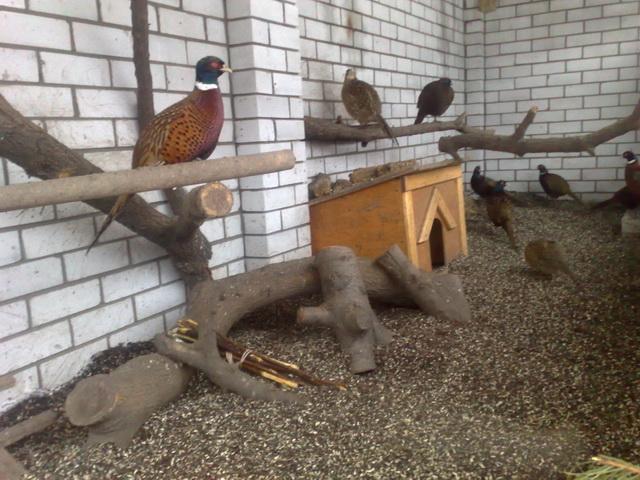 Содержание фазанов: советы и особенности ухода в домашних условиях