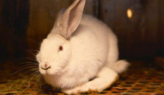 Что делать, если кролик не ест, не пьет воду и сидит на одном месте