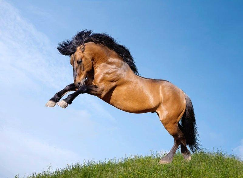 Мустанги: дикие лошади, описание, характеристики и фото