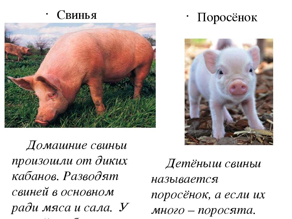 Все о болезнях поросят: симптомы, как выглядят животные, лечение и профилактика