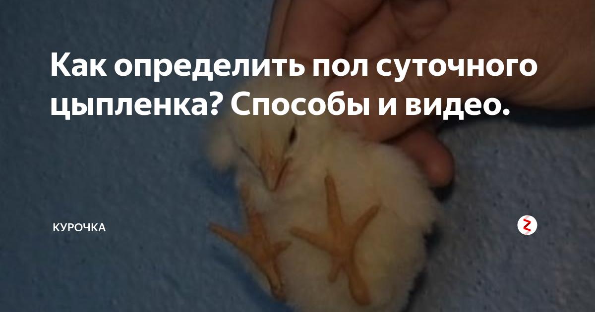 Как определить пол цыплёнка: петух или курица